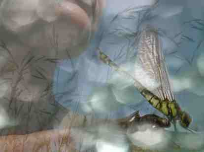 transformation_dragonfly